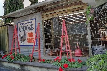chooks2