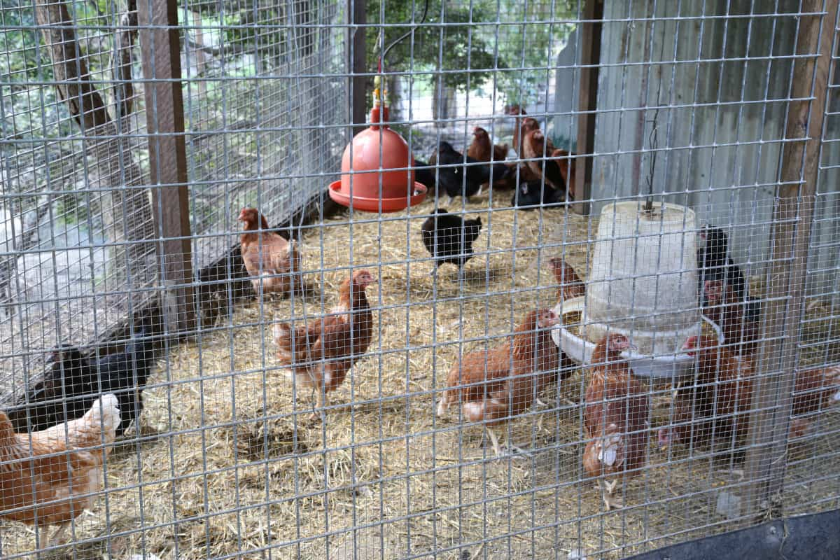 Poultry Image Gallery Chickens For Sale Brisbane Gleam