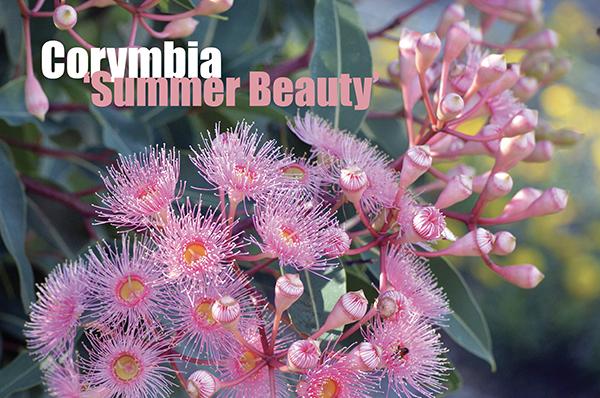 Corymbia Summer Beauty
