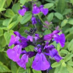 Stunning Salvias