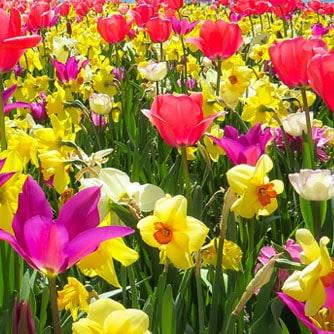 spring bulb mania