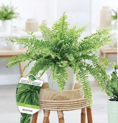 summer ferns