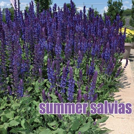 summer salvias