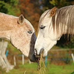 Horse eating hay - Horse Supplies Brisbane - Gleam O' Dawn Rural Store