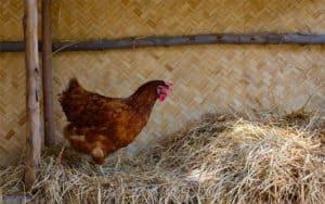 Chicken Bedding - Chooks for Sale - Gleam O' Dawn Rural Store