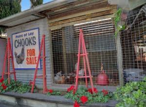 Chooks - Chooks for Sale - Gleam O' Dawn Rural Store