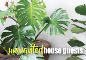 Tips to controlling Fungus Gnats