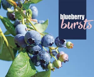 See how to grow blueberries
