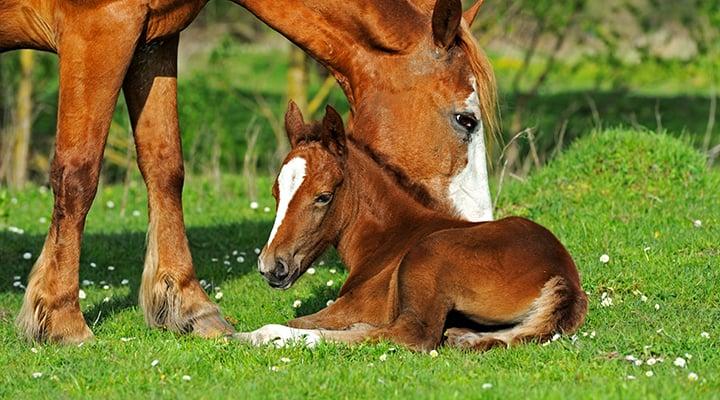 horse-foal